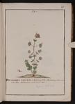 Dictamnus creticus