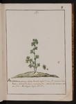 Alchimilla minima alpina