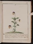 Viola hortense serpegiante tricolor