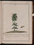 Crista gallinacea pratense