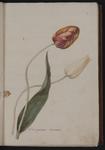 Tulipa gesneriana. Tulipano