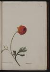 Ranunculus orientalis. Ranoncolo