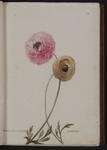 Ranunculus orientalis. Anemone