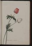 Anemone pulsatilla. Tulipano