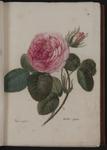 Rosa centifolia. Rosa apperta