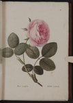 Rosa centifolia. Rosa socchiusa