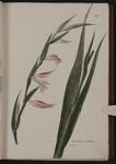 Gladiolus comunis. Gladiolo