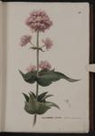 Valleriana [i.e. Valeriana] rubra. Valeriana a fior incarnato