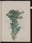 Euphorbia paralias. Euforbia marittima