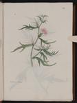 Centhaurea calcitropa [i.e. Centaurea calcitrapa]