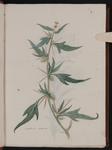 Xanthium spinosum