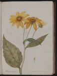 Elianthus tuberosus. Pera di terra, o Tartufolo in canna