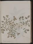 Euphorbia chamæsya [i.e. chamaesyce]