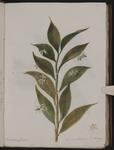 Ruscus hyppoglossum. Lauro alessandrino o bislingua