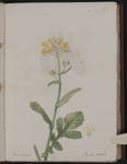 Beta vulgaris. Barba-bietola
