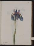 Iris xyphium