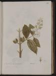 Phyladelphus coronarius. Serena