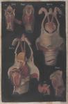 Laringe appartenente a mammiferi diversi
