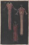 Laringe, esofago e trachea in Ovis aries e Homo osservati anteriormente (35) e posteriormente (34)