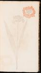 Allium, latifolium luteum
