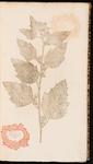 Althaea. Althaea f. bismalva officinarum