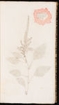 Amaranthus. Amaranthus maximus