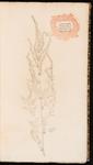 Amaranthus. Amaranthus indicus spinosus spica herbacea
