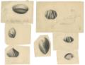 Disegni dei brachiopodi del Monte Rite in Cadore