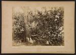 Foresta vergine di Ficus