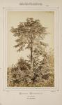 Cedrus Orientalis