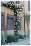 Rosa rampicante. Orto botanico di Padova
