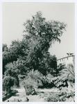 Ginkgo Biloba . Orto botanico di Padova
