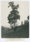 Un acero arboricolo su un salice. Chiesanuova, Verona