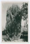 Effetti del gelo del 1929 sui Cipressi alle Are (Verona)