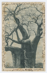 Baobab tree, Rhodesia - recto