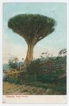 Tenerife - Drago realejo - recto