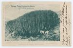 """Cardon"" centenario, con 110 metros de circumferencia - en ""Lagazal"", jurisdicción de Gáldar, Gran Canaria - recto"