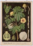Krautige Baumwolle (Gossypium herbaceum L. var.hirsutum)
