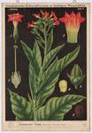 Virginischer Tabak (Nicotiana tabacum L.)