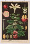 Kaffeebaum (Coffea arabica L.)
