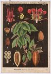 Kakaobaum (Theobroma cacao L.)