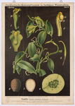 Vanille (Vanilla planifolia Andrews)