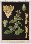 Ceylonischer Zimtbaum (Cinnamomum ceylanicum Breyn)