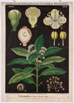 Nelkenpfeffer, Pimenta officinalis Berg