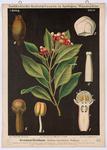 Gewürznelkenbaum (Jambosa caryophyllus Niedenzu)