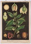 Muskatnussbaum (Myristica fragrans Houttuyn)