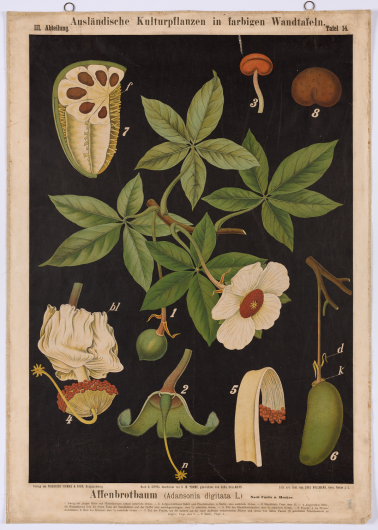 Affenbrotbaum (Adansonia digitata L.)