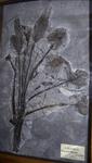 Fossile - Fronda di palma