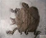 Fossile - Scheletro visibile solo lato dorsale