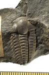 Fossile - Esemplare di trilobite